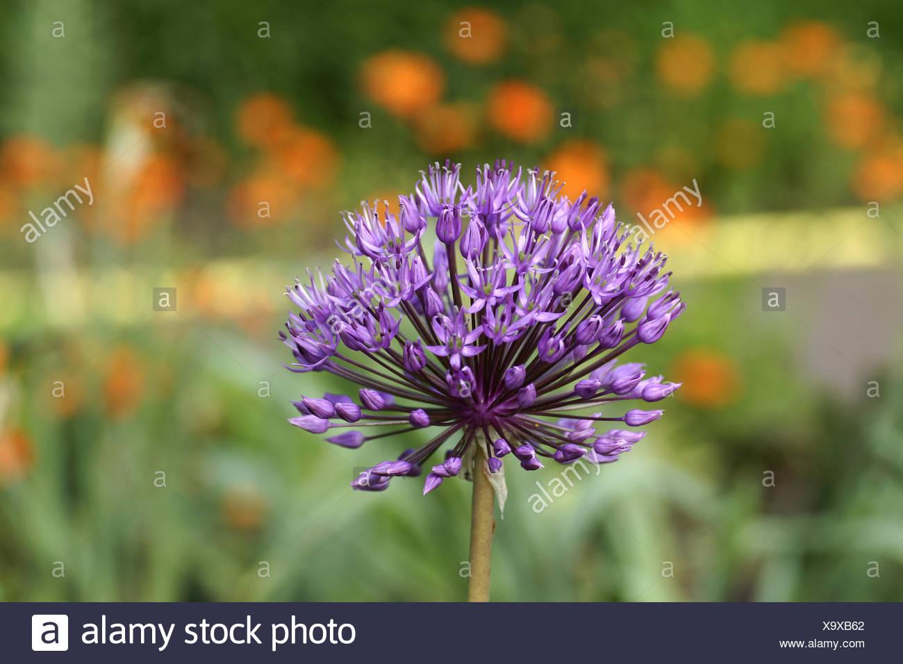 Allium giganteum - Stock Image