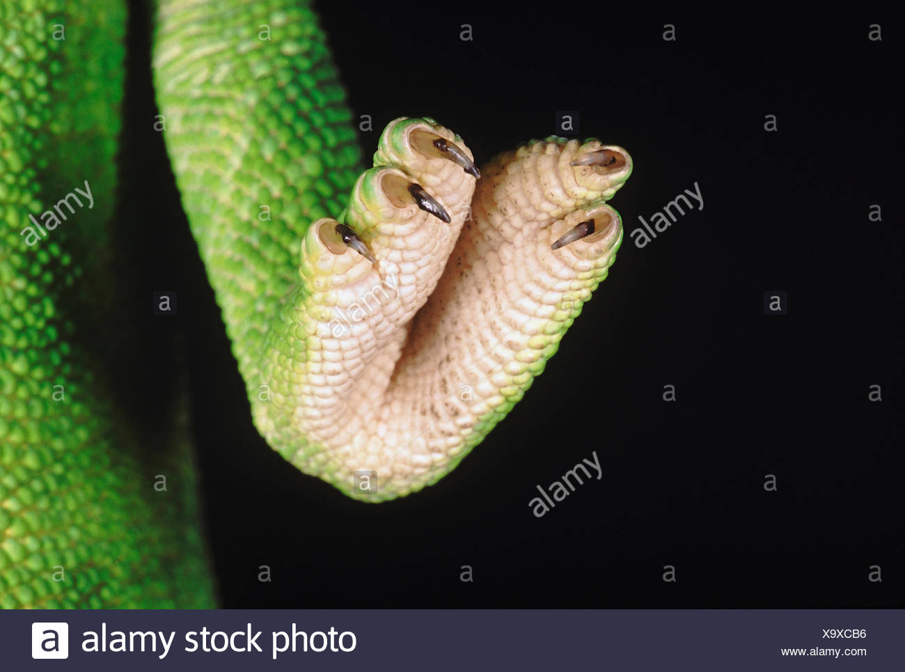 Chameleon Zeylanicus. A close up of the foot and claws. The chameleon has the ability to change its colour as well as shade depe - Stock Image