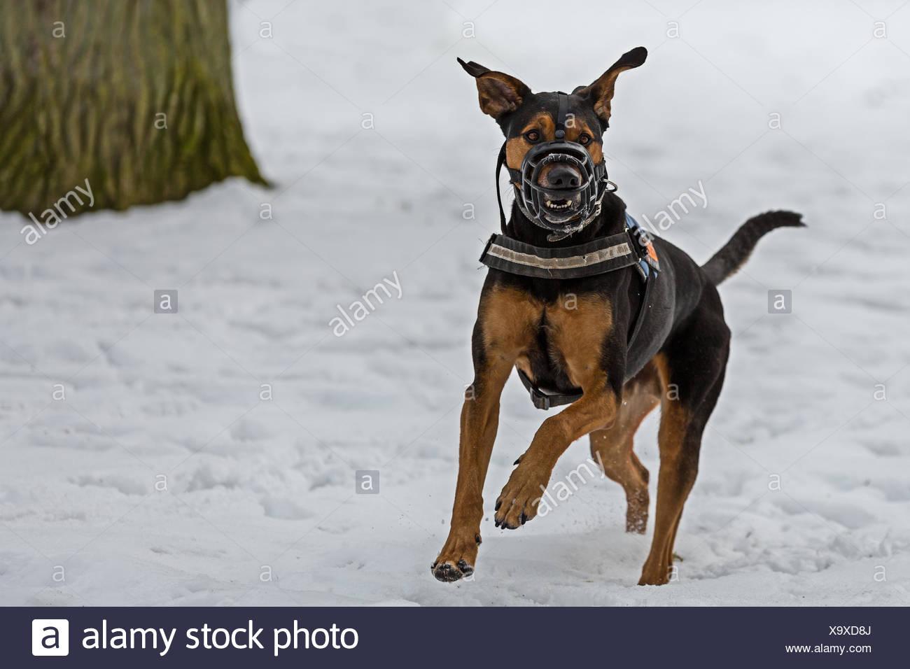 Doberman with muzzle - Stock Image