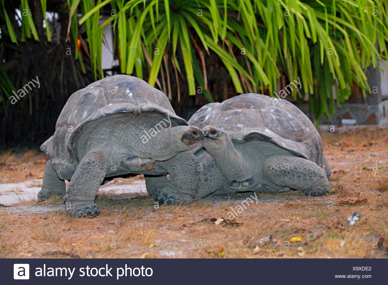 Seychelles giant tortoise, Aldabran giant tortoise, Aldabra giant tortoise (Aldabrachelys gigantea, Testudo gigantea, Geochelone gigantea, Megalochelys gigantea), two Seychelles giant tortoises looking at each other, Seychelles, Bird Island - Stock Image