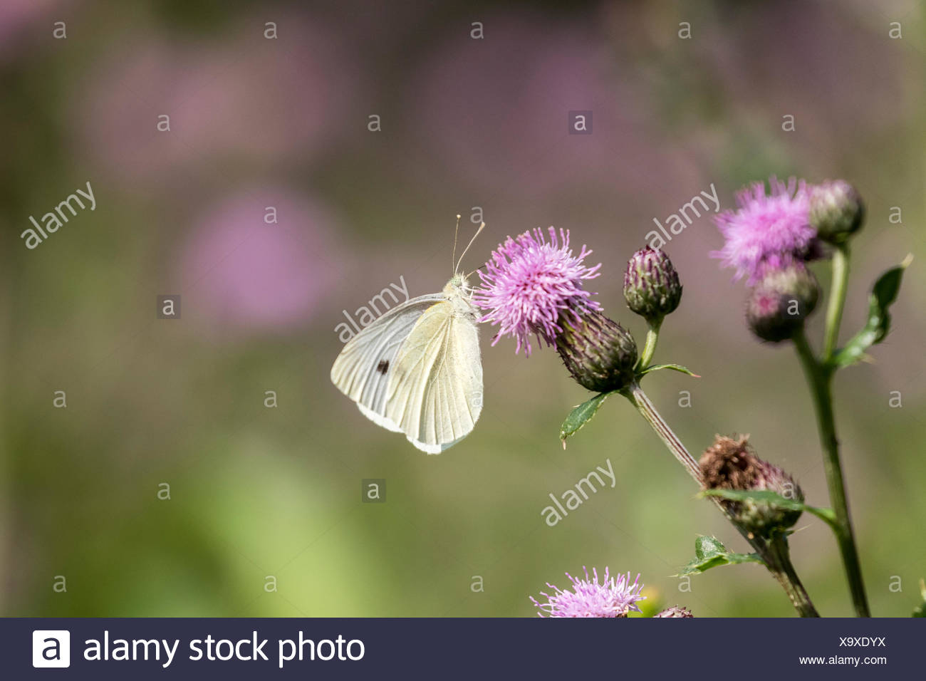 Cabbage White (Pieris rapae) on Canada Thistle (Cirsium arvense), both the butterfly and thistle were introduced to Canada - Stock Image