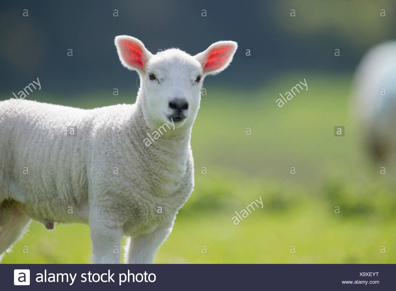 Portrait of lamb in green spring grass Stock Photo