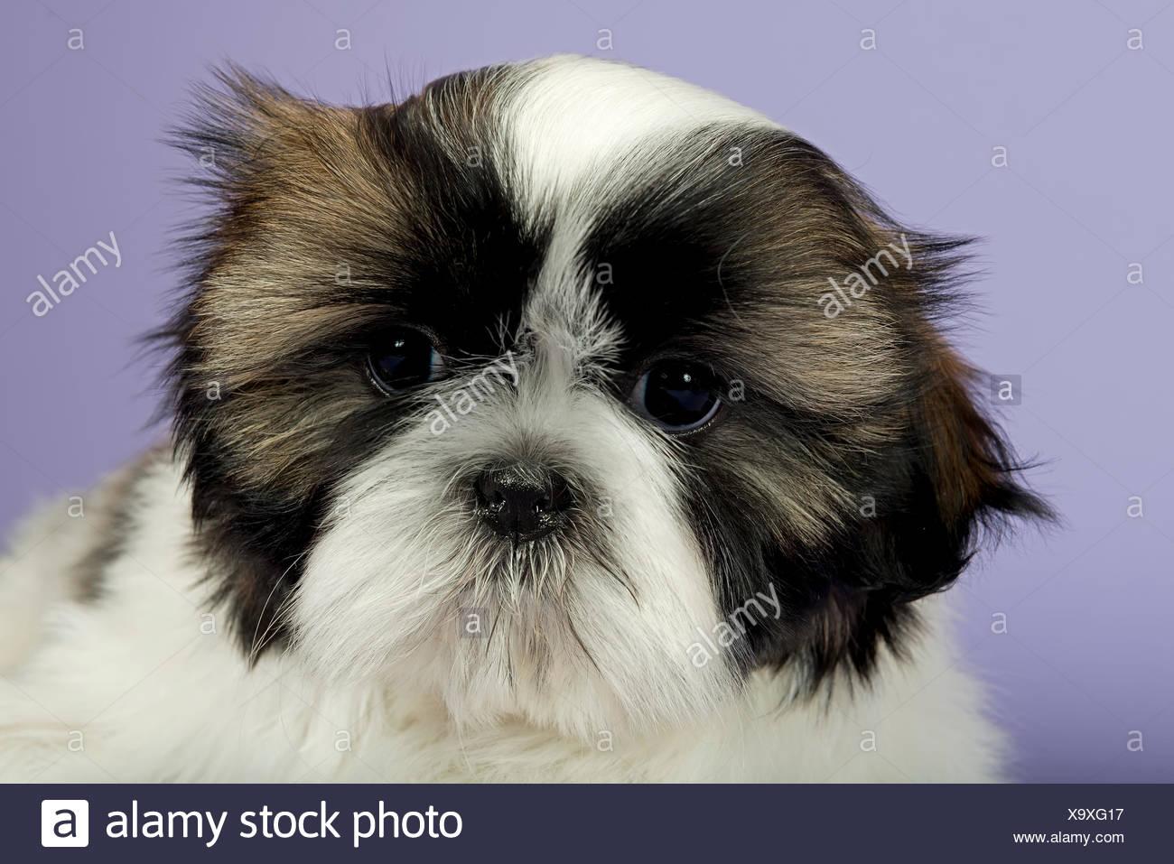Shih Tzu Puppy 10 Weeks Gold White Stock Photo 281481123 Alamy