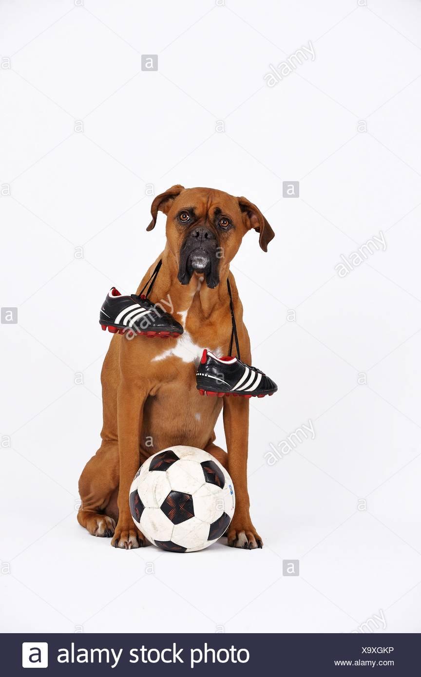 German Boxer as footballer Stock Photo