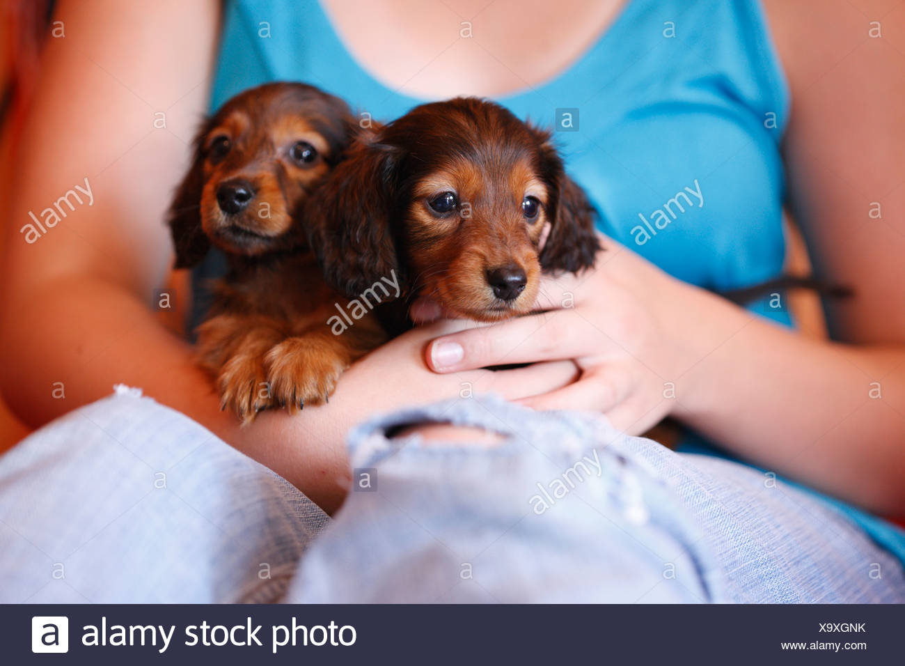 Long Haired Miniature Dachshund Dogs High Resolution Stock Photography And Images Alamy