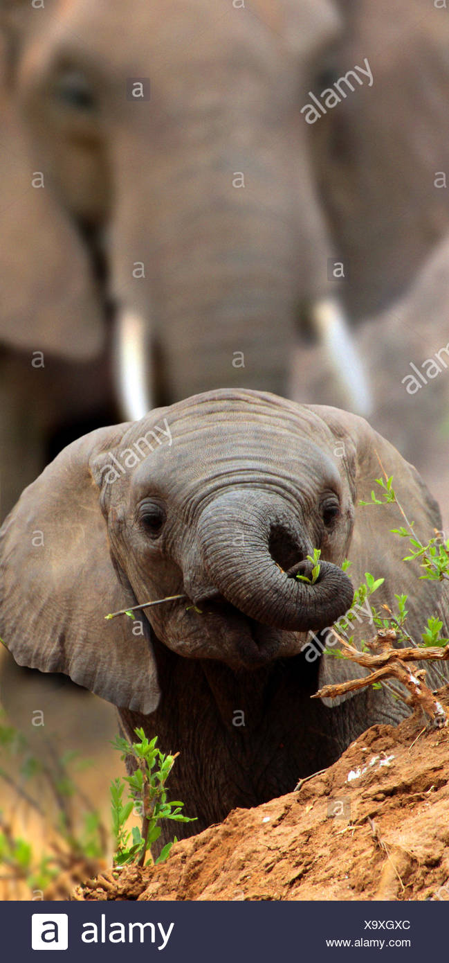 African elephant (Loxodonta africana), baby elephant looks over a small hill, Africa - Stock Image
