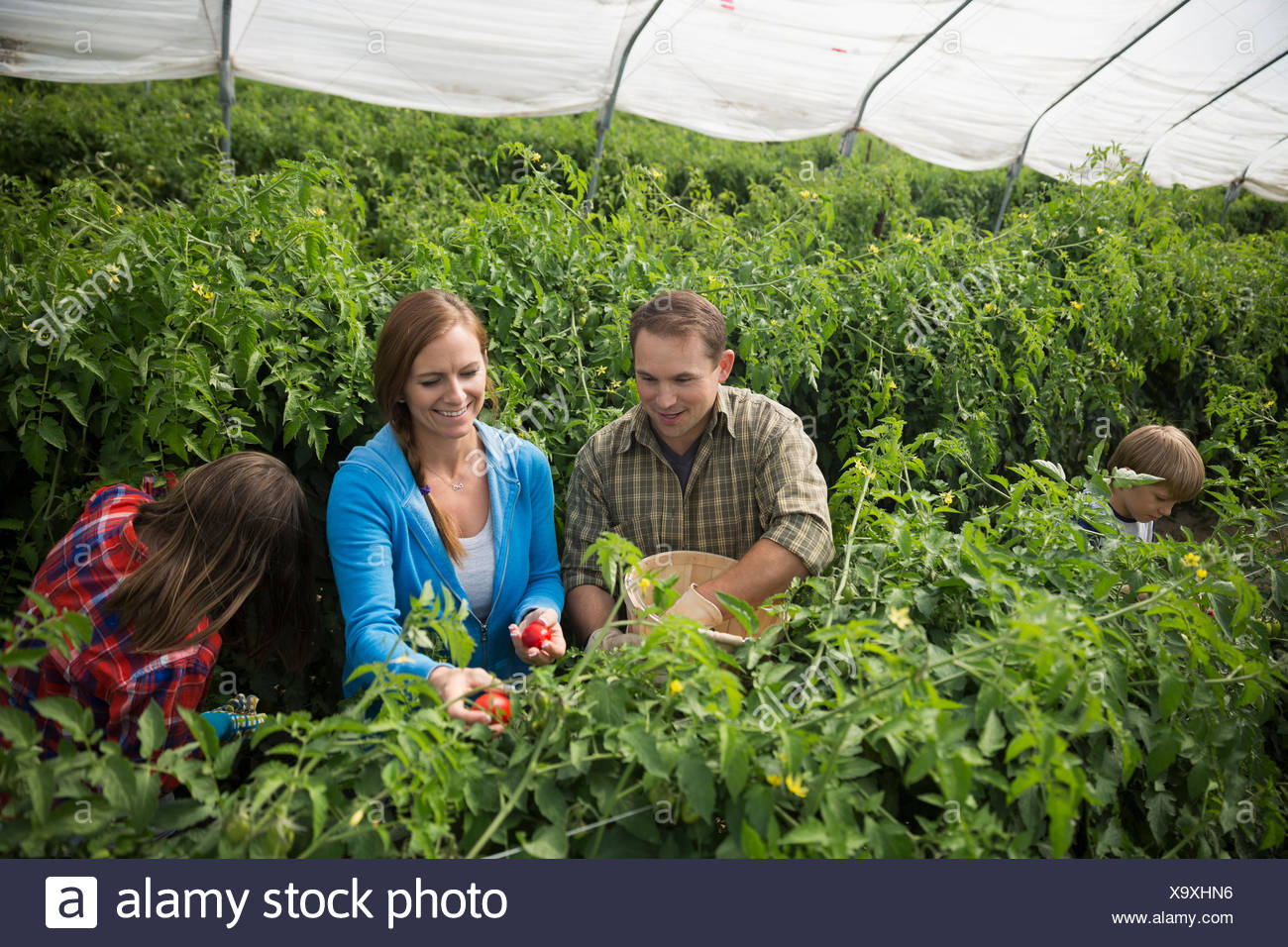Family picking tomatoes in greenhouse - Stock Image
