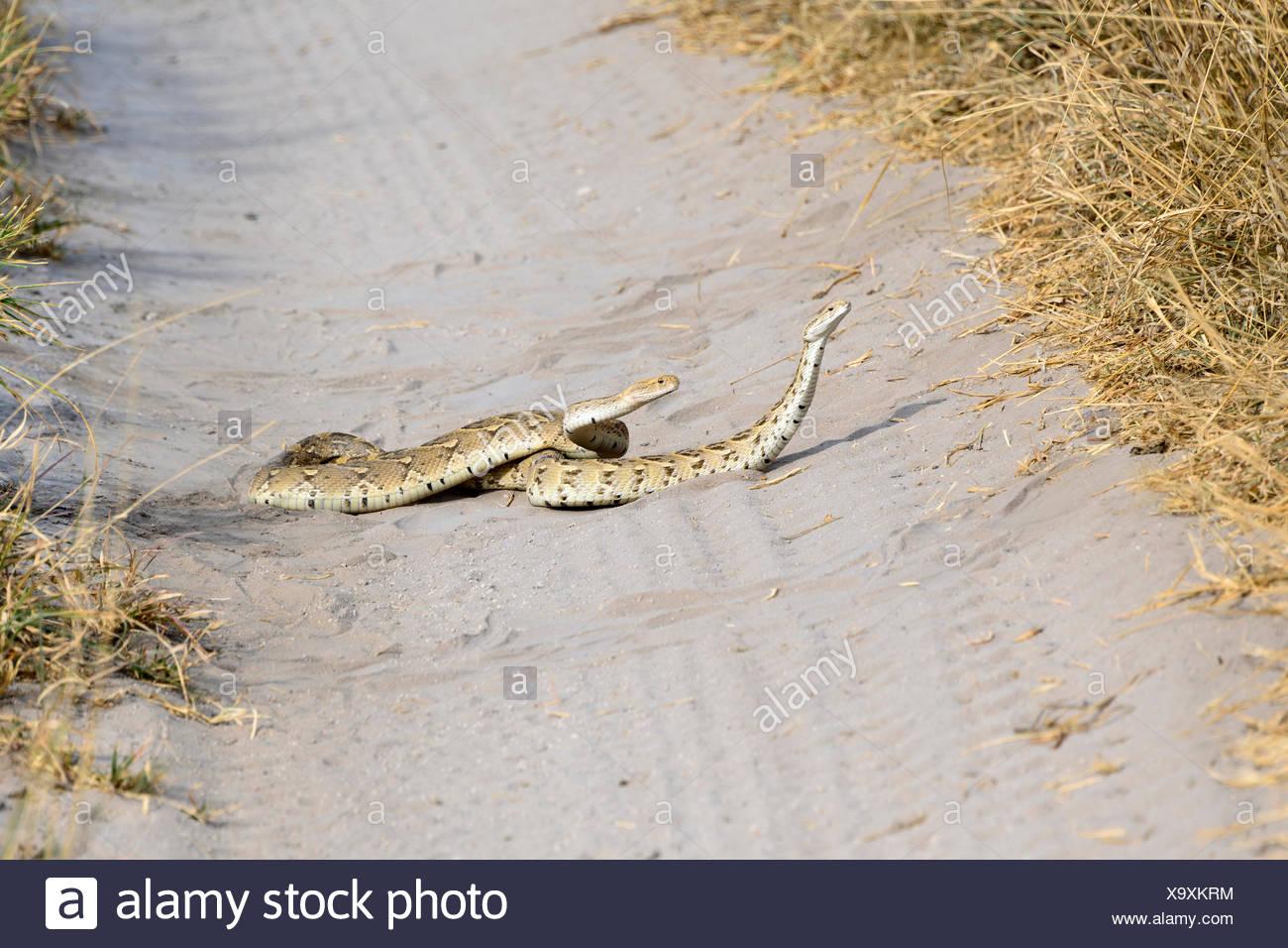 Puff Adder, Central Kalahari Game Reserve, Botswana, Snake, (Bitis arietans) - Stock Image