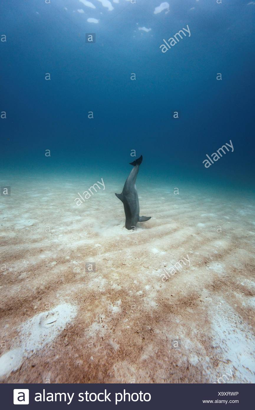 A bottlenose dolphin off goes vertical, digging the fish out of the sand with its rostrum, or beak. - Stock Image