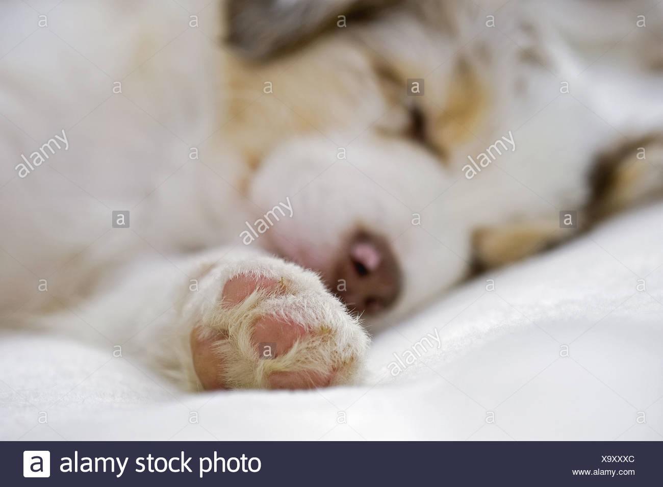 Australian Shepherd dog - puppy - sleeping - Stock Image