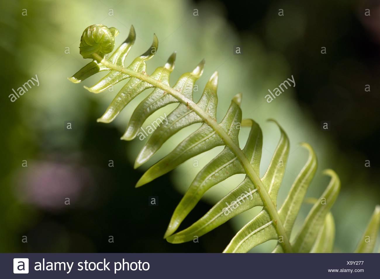 Close-up of Fishbone Fern Nephrolepis cordifolia  Tasmania, Australia Stock Photo