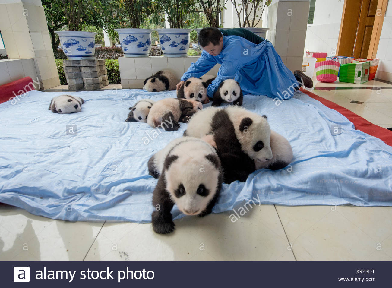 Baby captive-bred giant pandas and a handler on a blanket at the Bifengxia Panda Base giant panda breeding center. - Stock Image