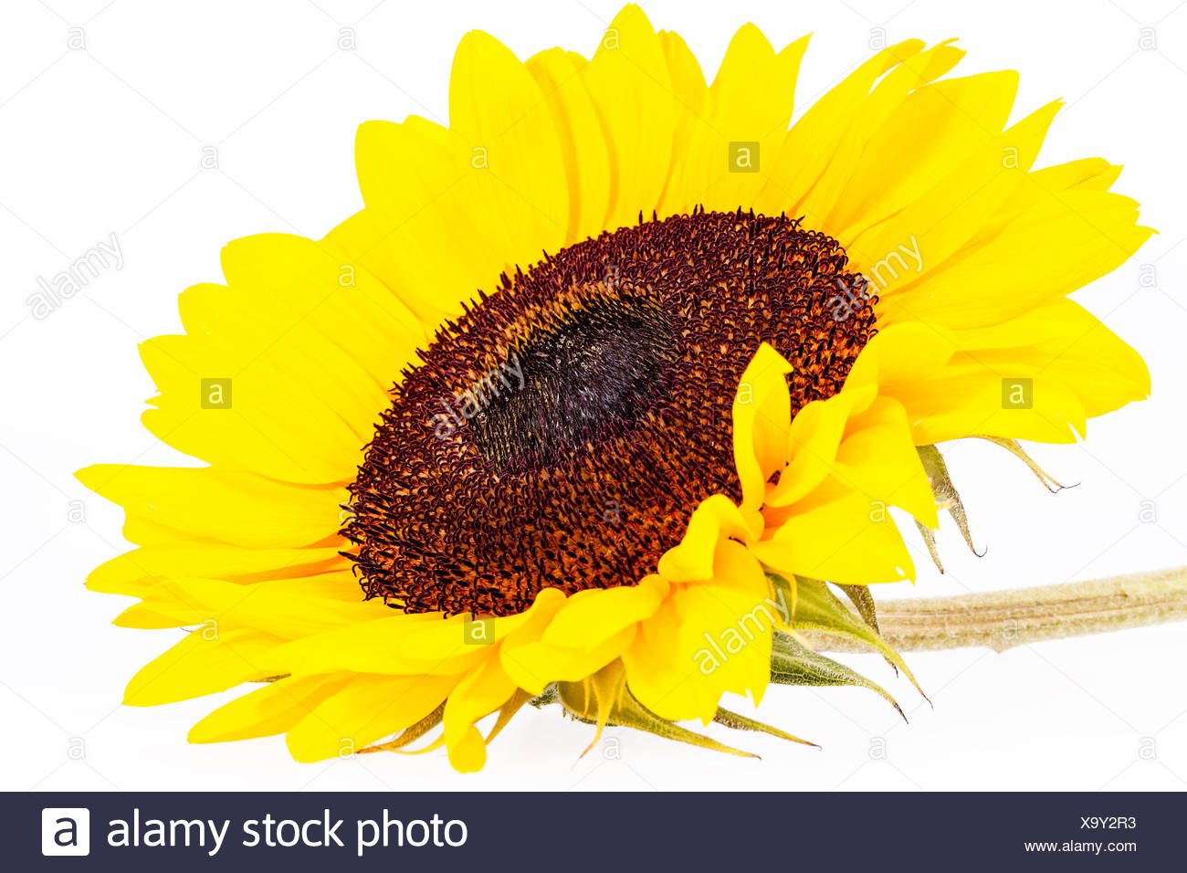 Single Yellow Flower Of Sunflower Isolated On White Background