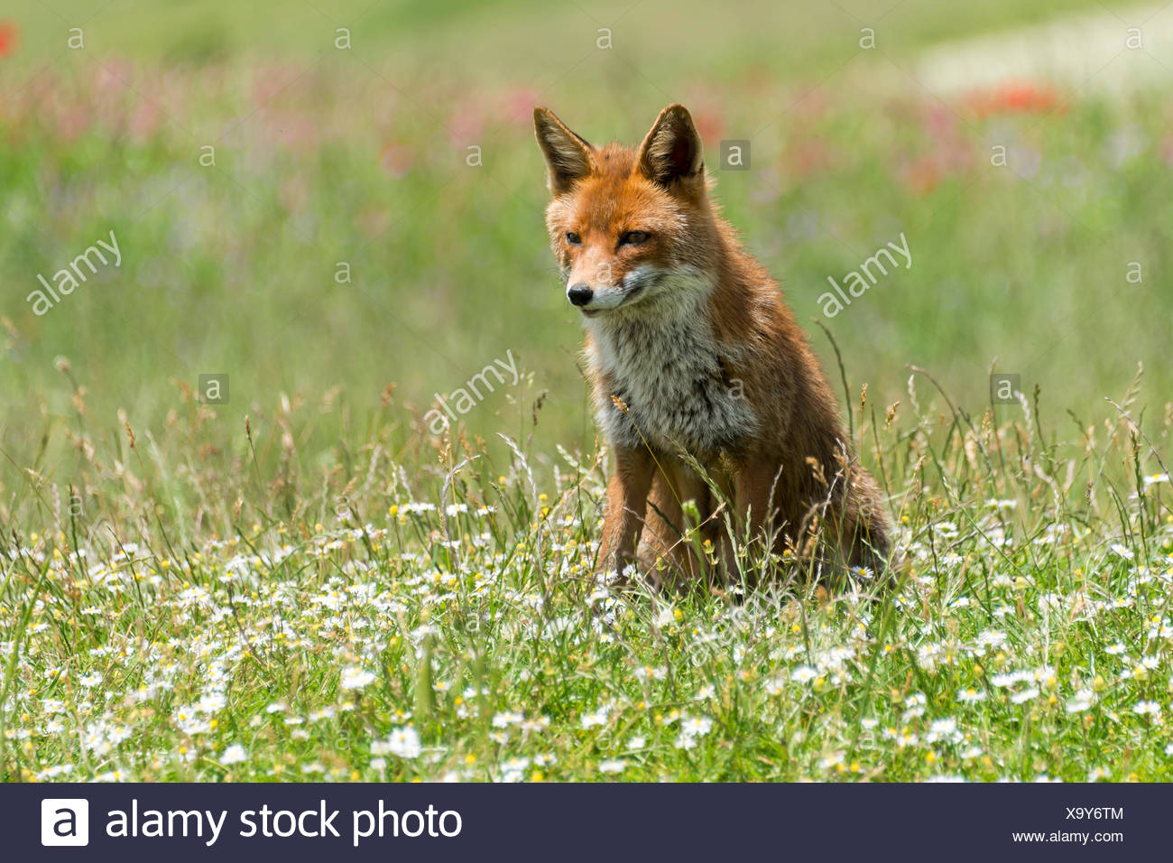 Red Fox (Vulpes vulpes) sitting in flower meadow, Monti Sibillini National Park, Umbria, Italy - Stock Image
