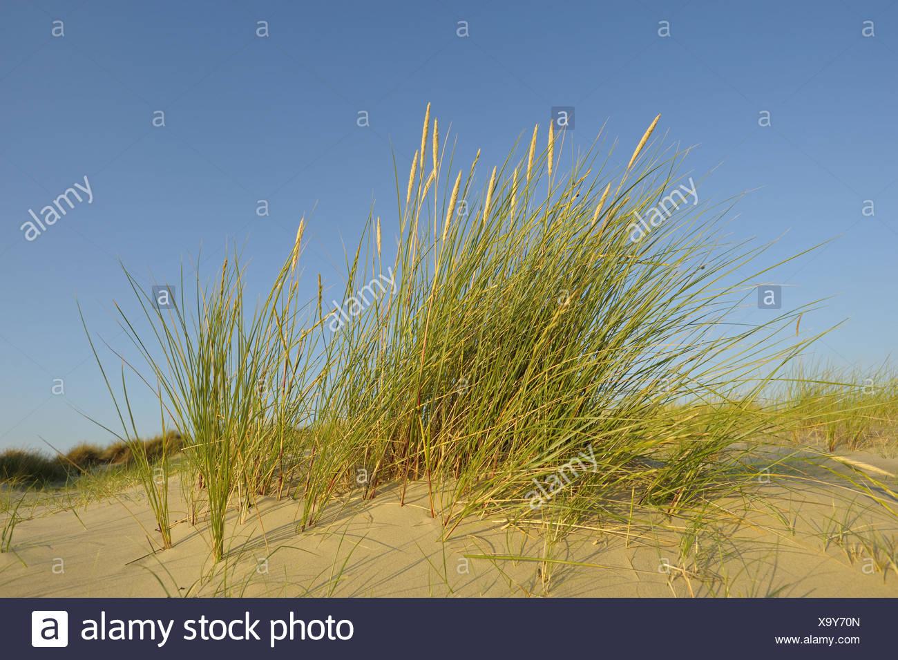 Marram on dune, nature reserve De Slufter, national park Duinen van Texel, Texel, Netherlands / (Ammophila arenaria) - Stock Image