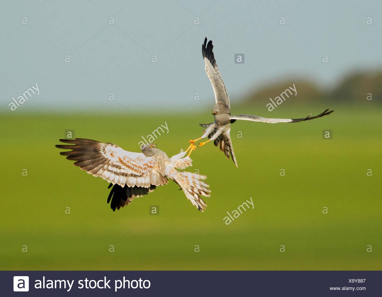 Montagu's Harriers fighting in flight - Spain Stock Photo