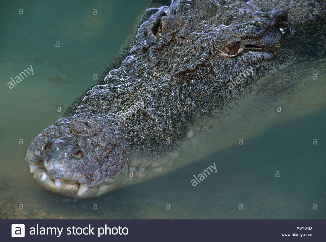 ESTUARINE CROCODILE Stock Photo