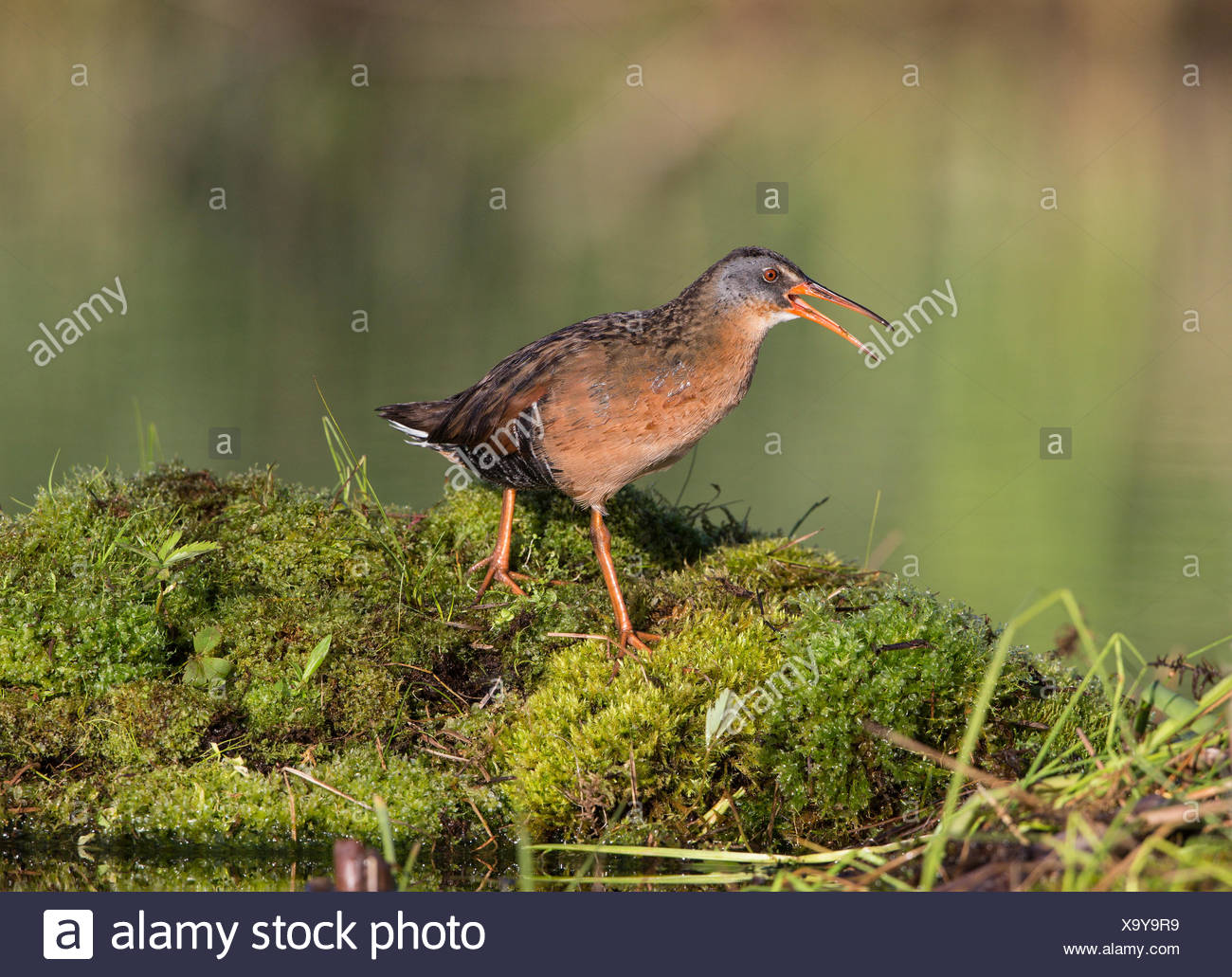 Virginia rail (Rallus limicola), male calling, Lac Le Jeune, British Columbia. Bird attracted to perch setup with recorded call. - Stock Image
