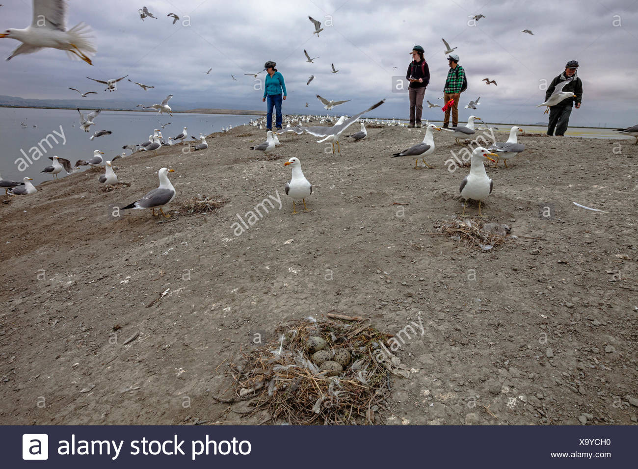 Members of San Francisco Bay Bird Observatory survey California Gull in South Bay restoration area near Aviso, California, USA - Stock Image