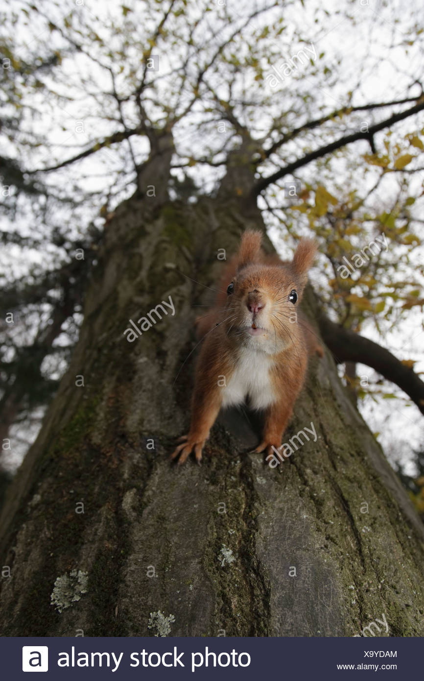Germany, Munich, Close up of european red squirrel on tree Stock Photo