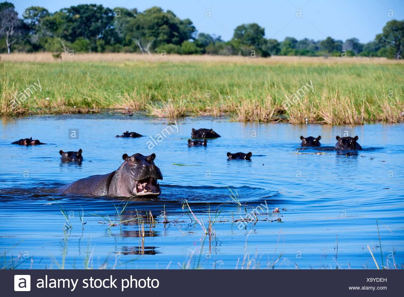 Hippopotamus (Hippopotamus amphibius) showing territorial agression. Moremi National Park, Okavango delta, Botswana, Southern Africa. - Stock Image