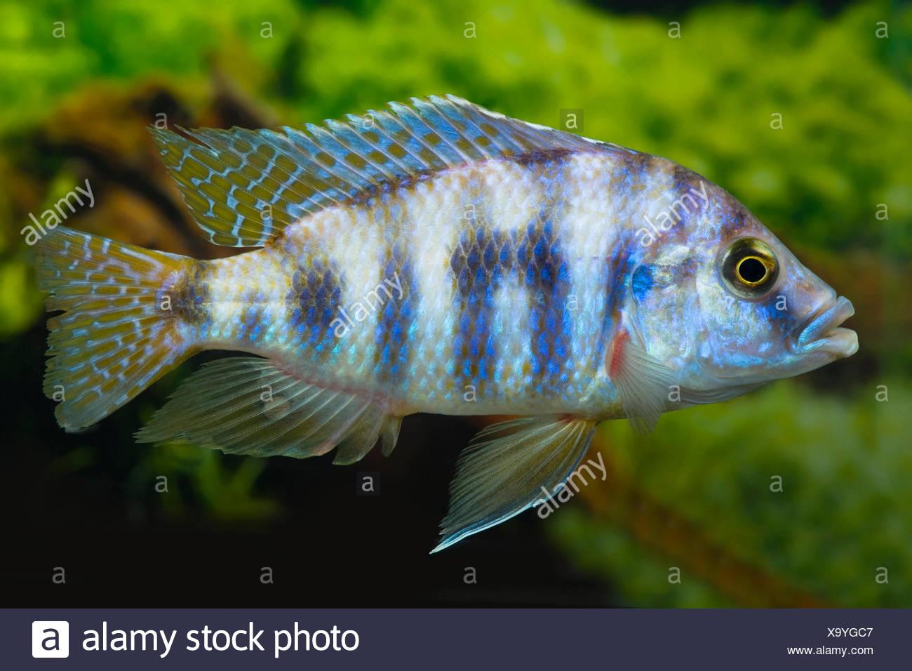 Milomobuntbarsch, Milomo-Buntbarsch (Placidochromis milomo), schwimmend | Thicklipps Malawi Cichlid (Placidochromis milomo), swi - Stock Image