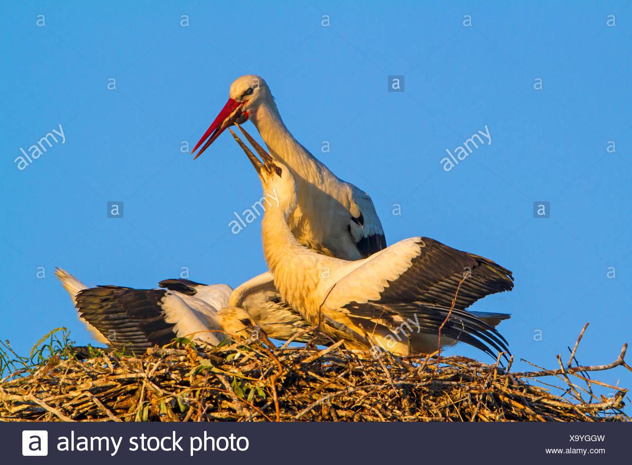white stork (Ciconia ciconia), feeding of the two young storks on the aerie, Switzerland, Sankt Gallen - Stock Image