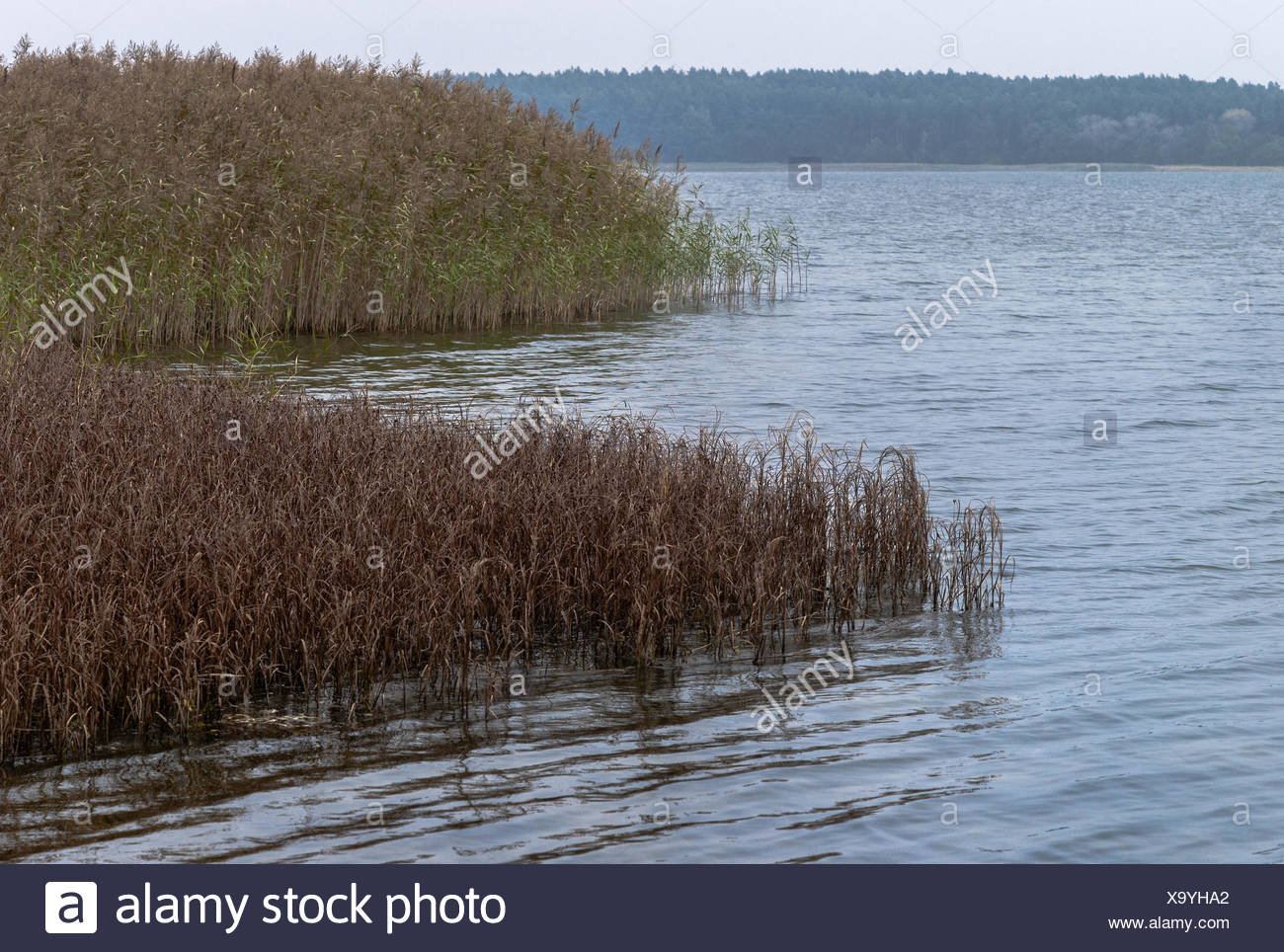 Ruegen - reed colours at the Gustower Wiek - Stock Image