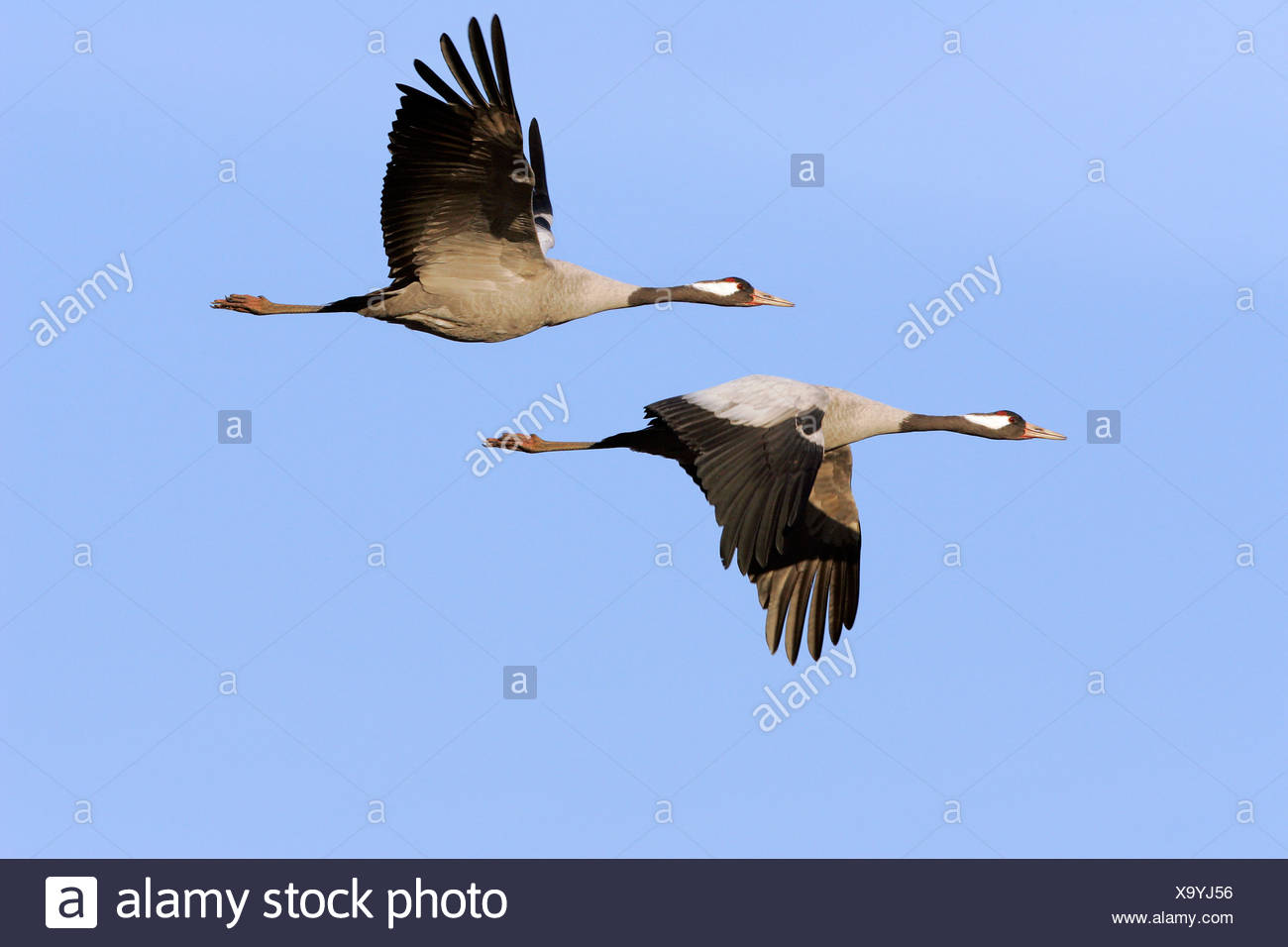 Couple of flying common cranes (Grus grus) - Lake Hornborga, Sweden, Europe, Stock Photo