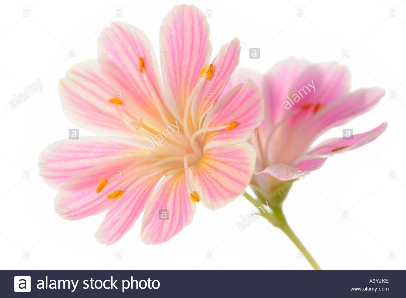 Pink Lewisia (Lewisia Cotyledon) - Stock Image