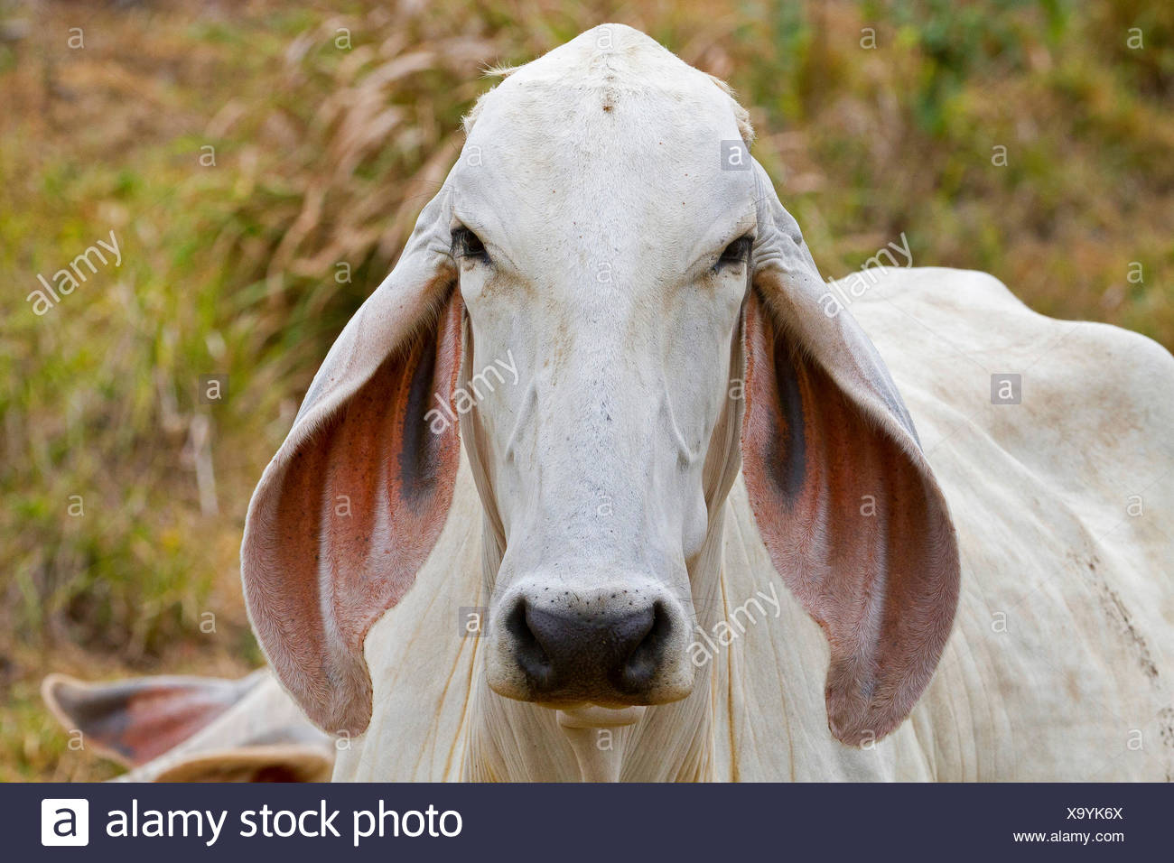 Zebu, Humped Cattle, Indicus Cattle (Bos primigenius indicus, Bos indicus), portrait, Costa Rica, Jaco - Stock Image