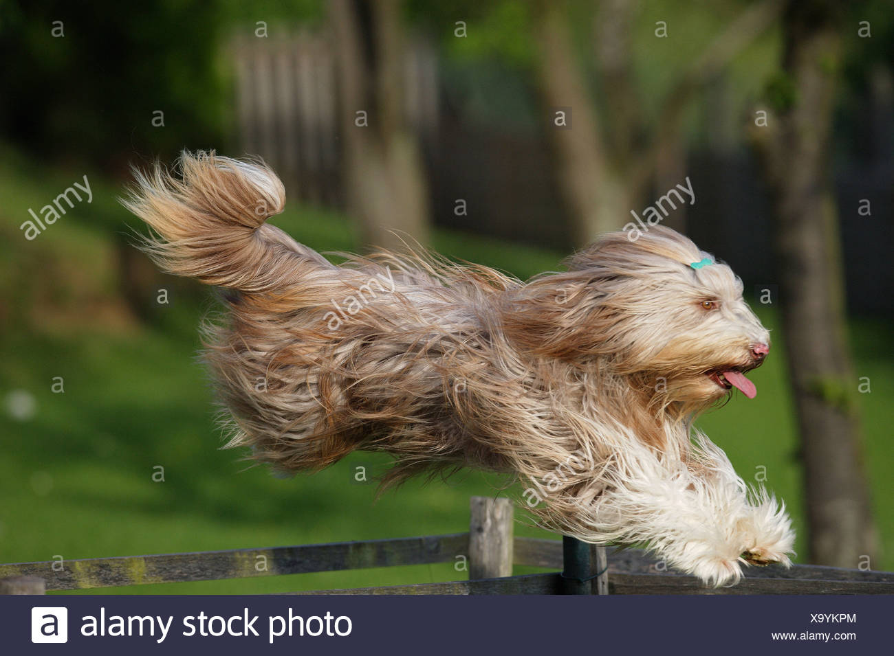 Bearded Collie - jumping - Stock Image