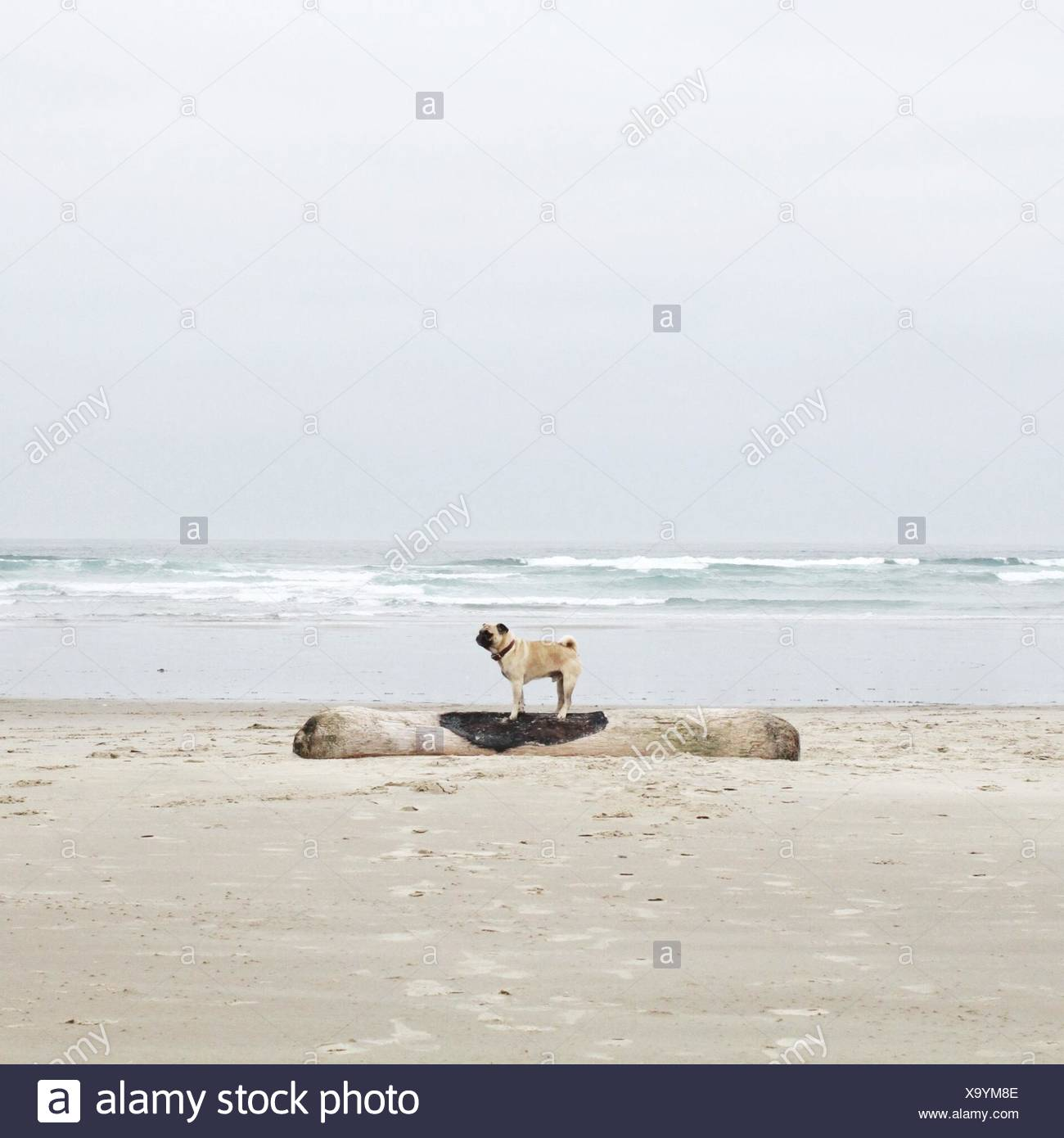 Side view of pug dog standing on driftwood on beach - Stock Image