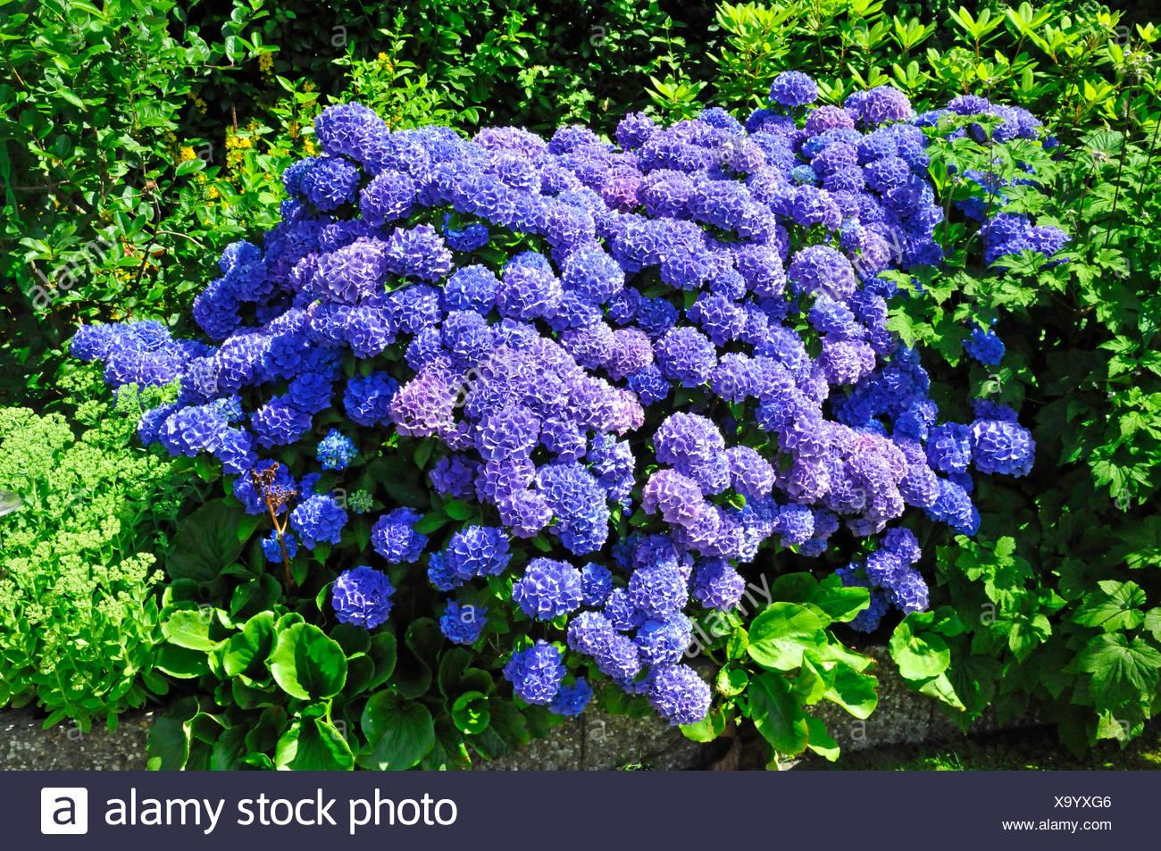 Garten hortensie - Gartenpflanzen straucher ...