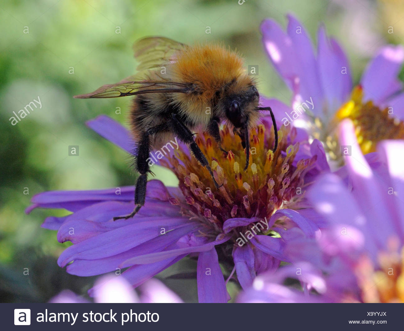 A bee collecting nectar from a purple flower. - Stock Image
