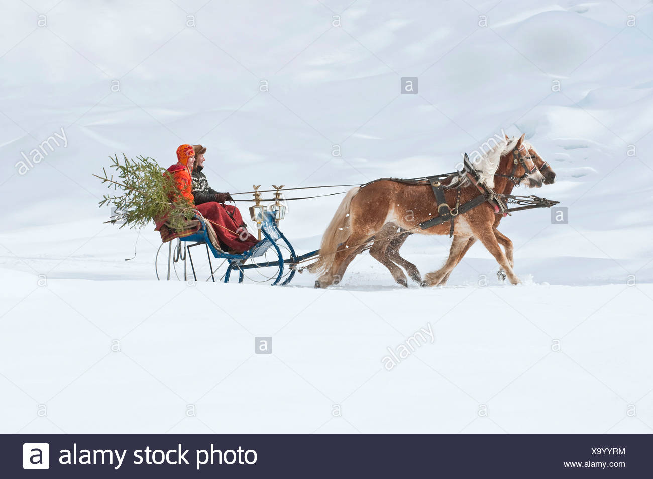 Austria, Salzburger Land, Couple  transporting Christmas tree on sleigh, smiling, side view - Stock Image