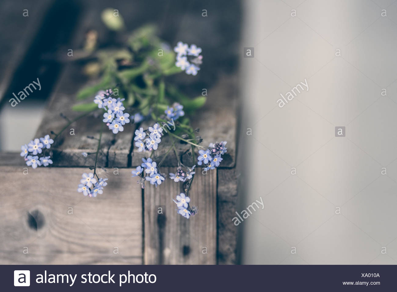 Norway, Forget Me Not flower - Stock Image