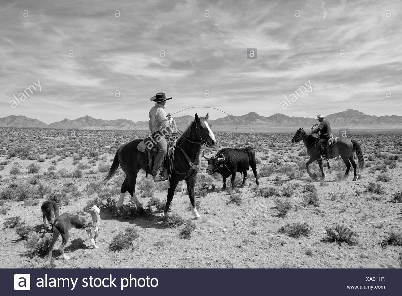USA, United States, America, Nevada, cowboys, cowboy, bull, wrestling, horses, american west, western, lasso, lariat, work, work - Stock Image