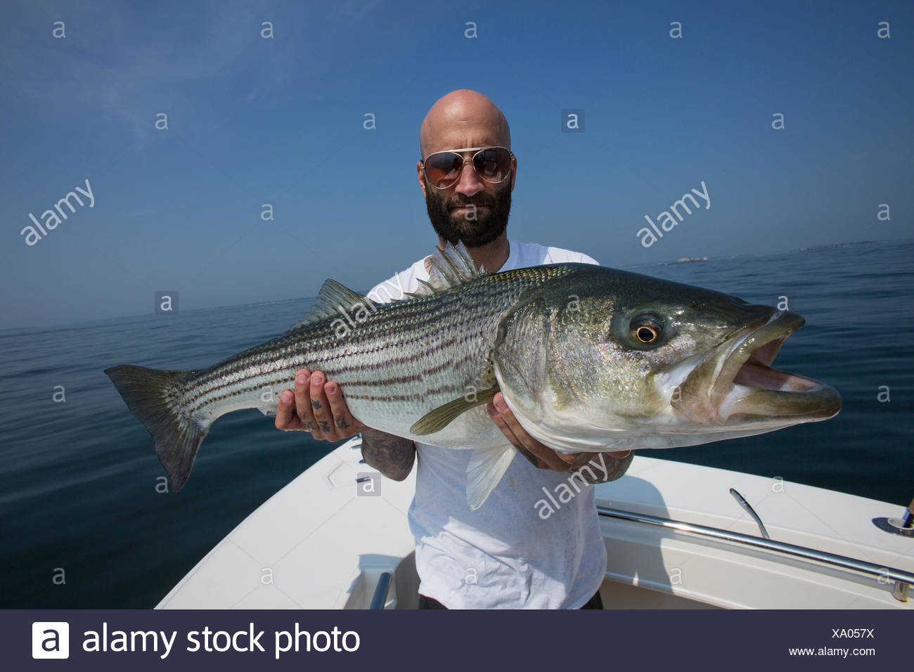 Atlantic Striped Bass Stock Photos & Atlantic Striped Bass Stock