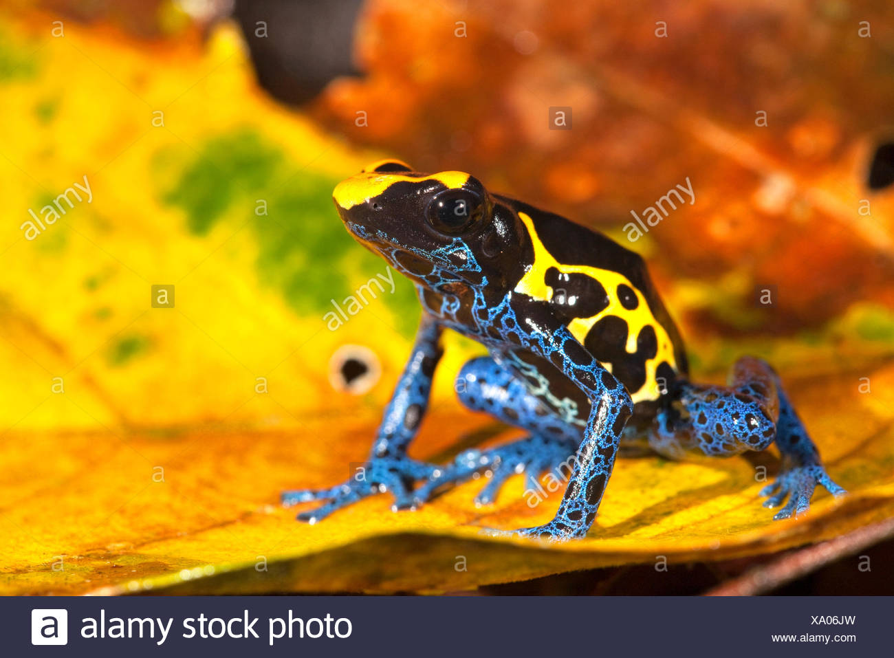 photo of the Dyeing dart frog on the forest floor between coloured leafs - Stock Image