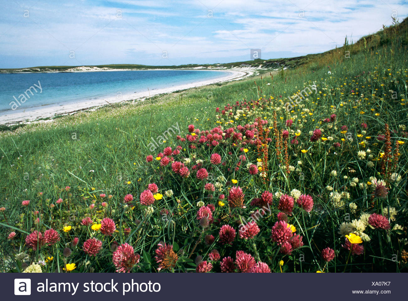 Clovers vetches and other wildflowers growing on the Machair of Balranald RSPB reserve North Uist Outer Hebrides Scotland - Stock Image
