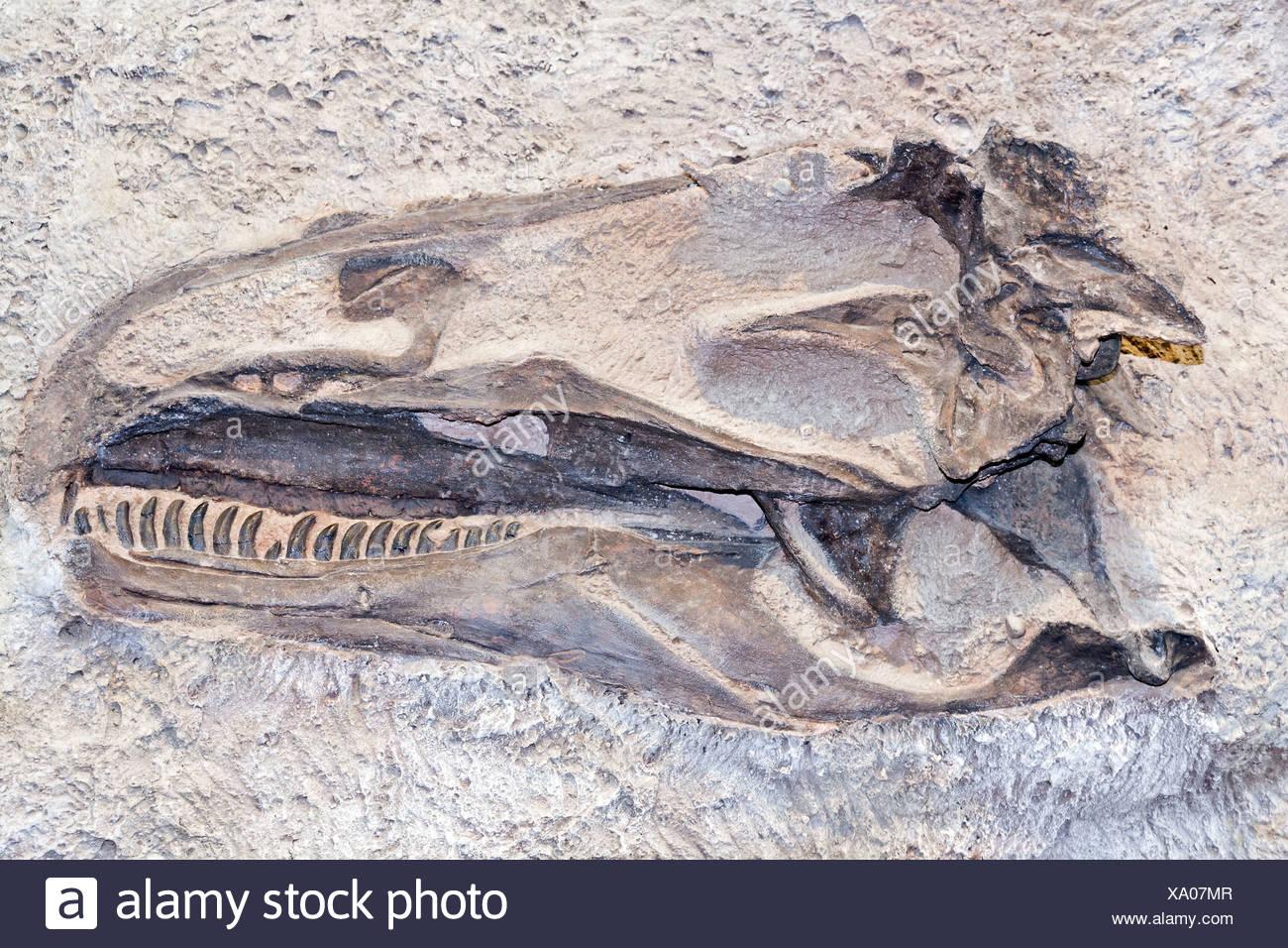 dinosaur fossil - Stock Image