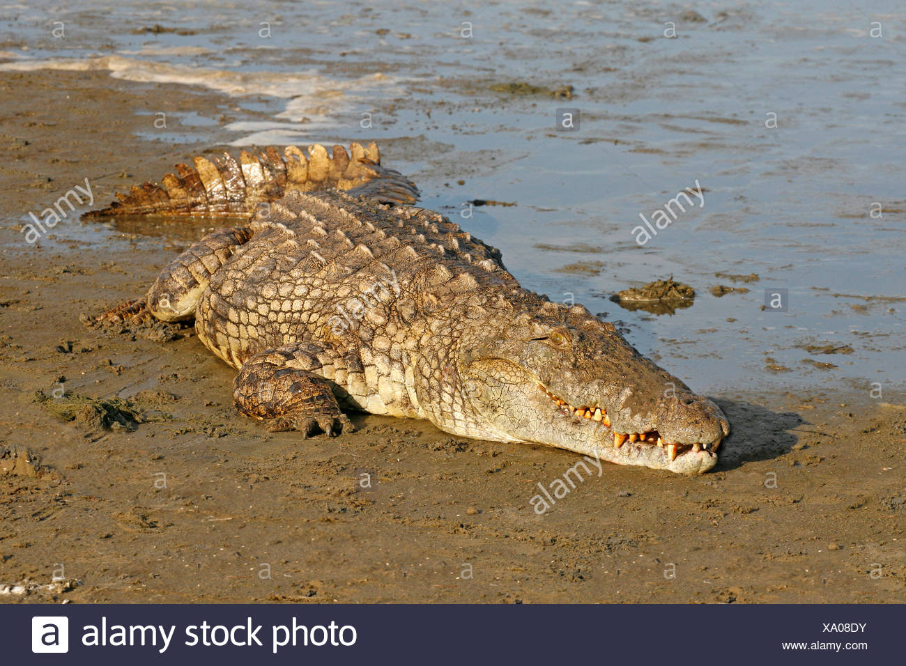 photo of a large nile crocodile lying at the edge of the water - Stock Image
