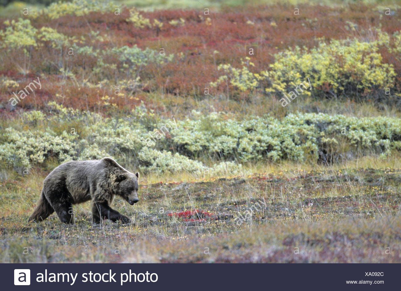 Grizzly Bear searching for food in the tundra - Stock Image