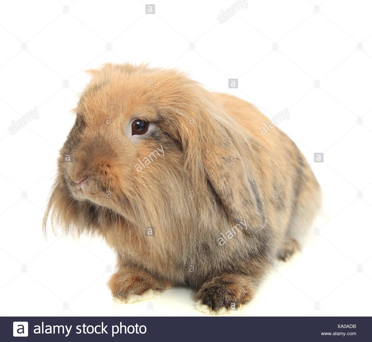 Brown rabbit - Stock Image