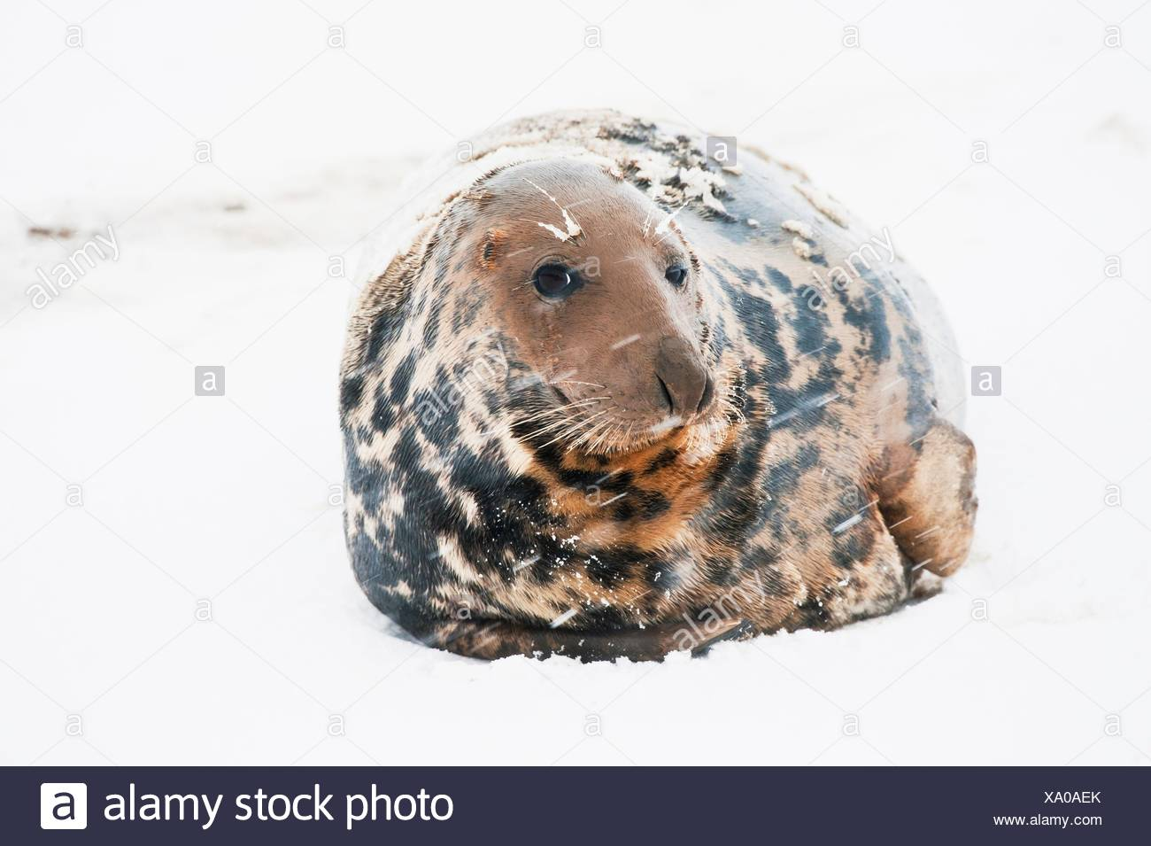Breeding colony of Grey Seal. Halichoerus grypus. Donna Nook. Lincolnshire. UK. Europe. - Stock Image