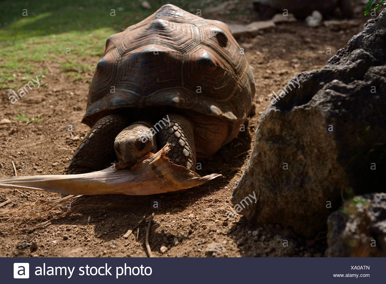 Giant tortoise, Francois Leguat Giant Tortoise and Cave Parc, Anse Quitor, Rodrigues - Stock Image