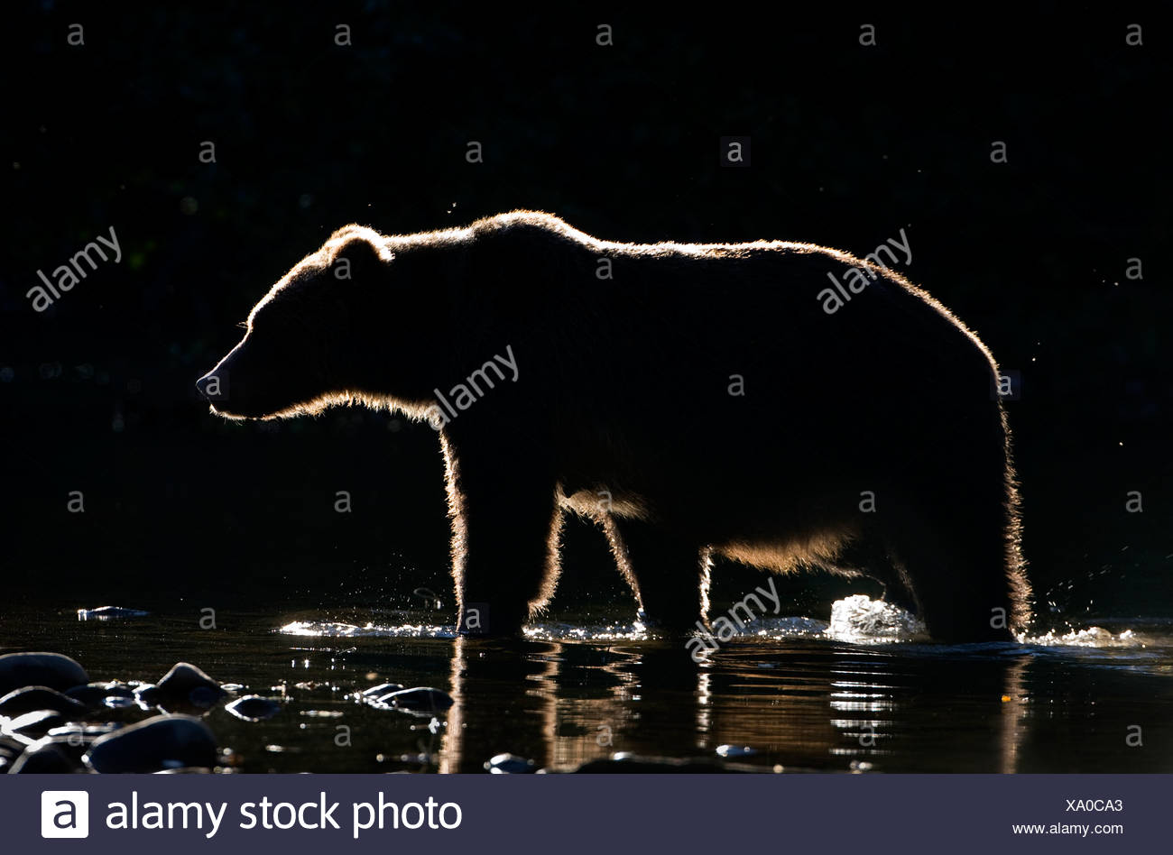 Backlit grizzly bear (Ursus arctos horribilis), female, coastal British Columbia, Canada. Stock Photo