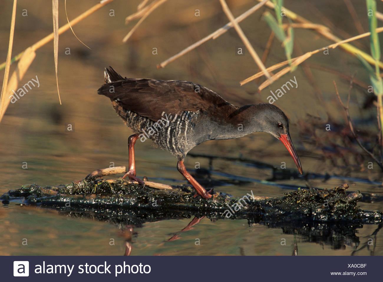 African Rail (Rallus caerulescens), in marsh habitat, Gauteng, South Africa, Africa - Stock Image