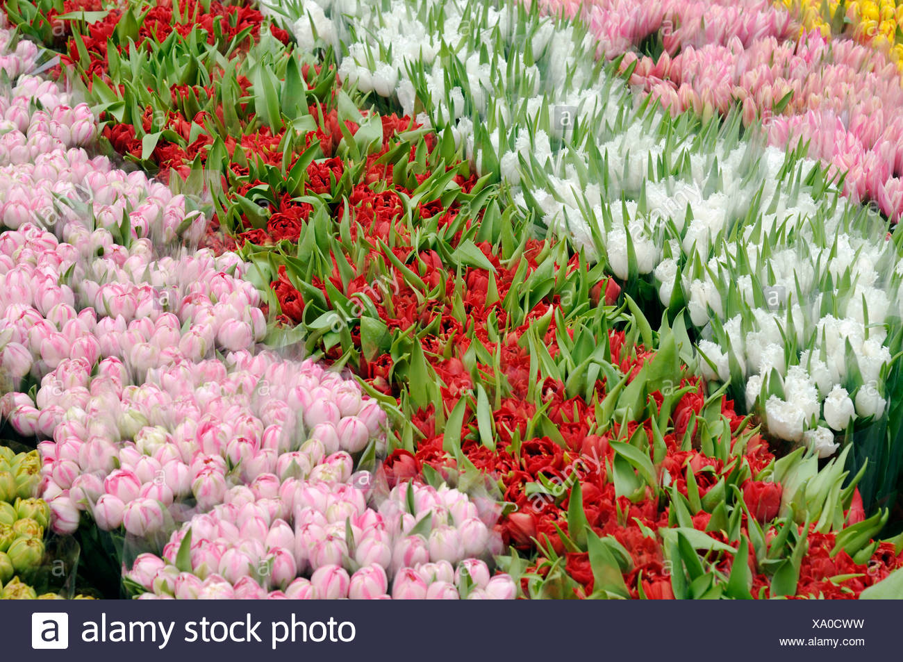 Cut flowers sold at a flower market, pink, red, white and yellow tulips (Tulipa) - Stock Image